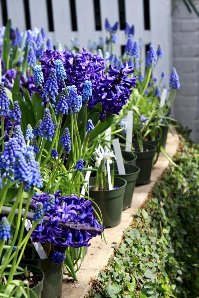 Muscari & Hyacinth