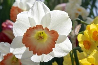 Backlit Narcissus