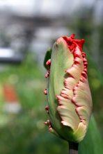 Parrot Tulip 'Estella Rijnveld'