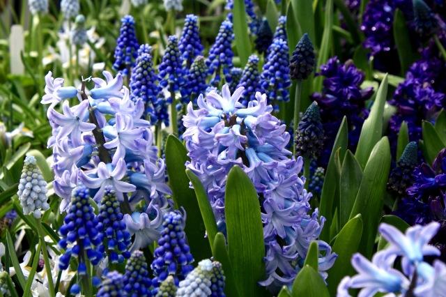 Hyacinth & Muscari