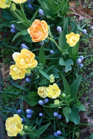 Tulip 'Charming Beauty' & Muscari 'Valerie Finnis'