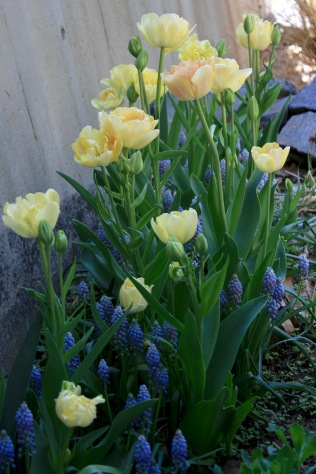 Tulip 'Charming Beauty' & Muscari 'Valerie Finnis'