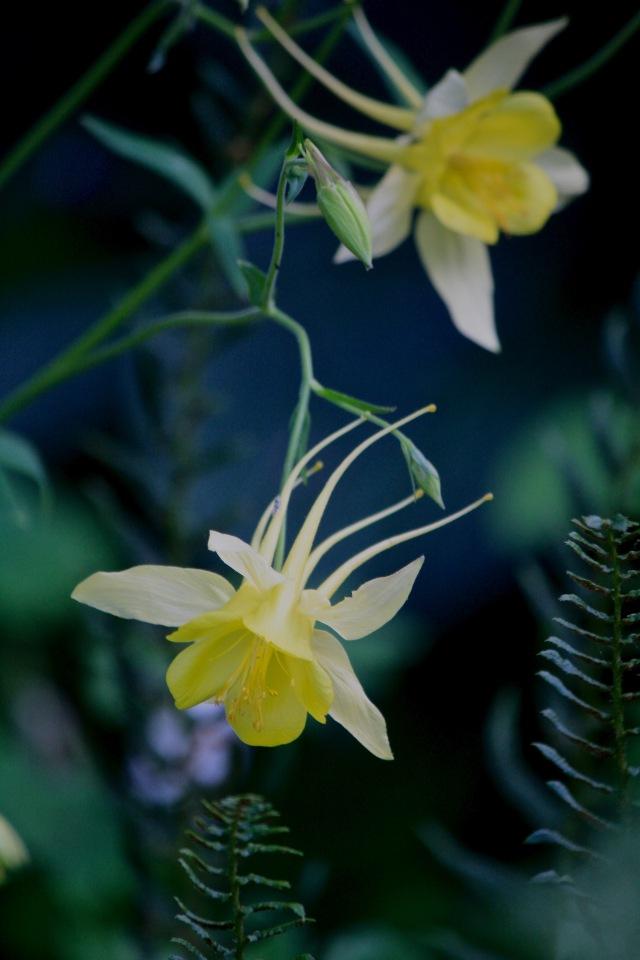Columbine (Aquilegia chrysantha)