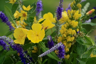 Sundrops, Thermopsis, Loosestrife and Speedwell
