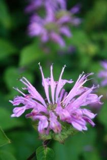 Bee Balm (Monarda didyma)
