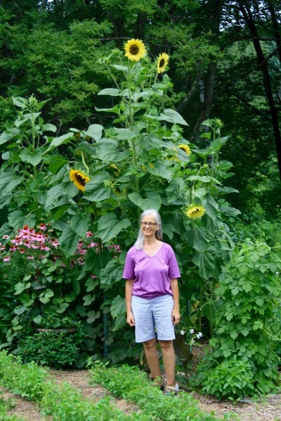 11' Sunflower, 5' Coneflower