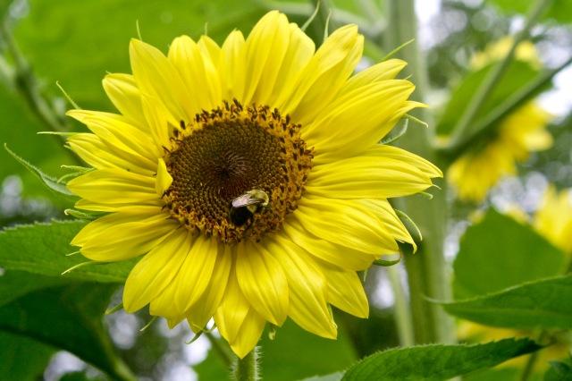 Bumblebee/Sunflower