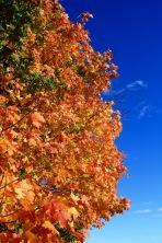 Sugar maple, autumn
