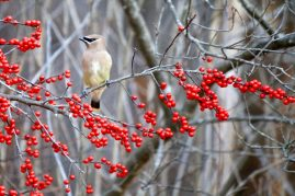 Cedar Waxwing/Winterberry