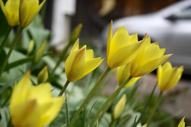 Tulipa batalinii 'Honky Tonk'