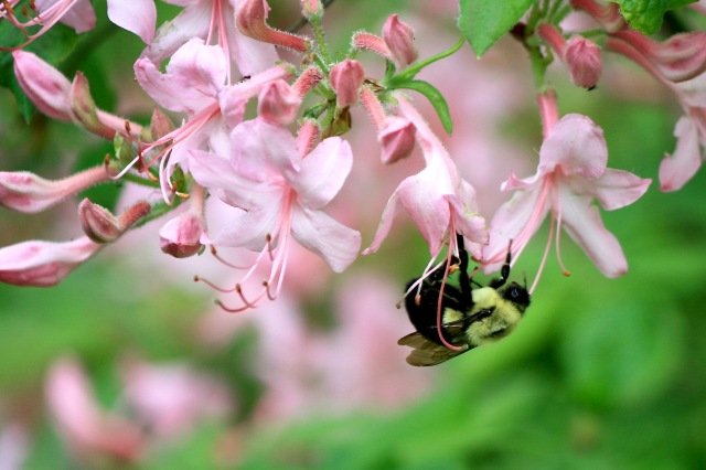 Swamp Pink & Carpenter Bee