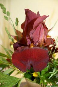 Burgundy German Iris, possibly 'Frontier Marshall'
