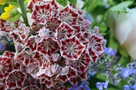 Kalmia latifolia 'Carousel'