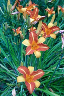Bicolor Hemeocallis