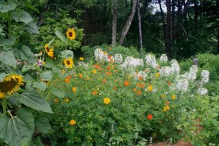 Sunflower, Cosmos, Cleome