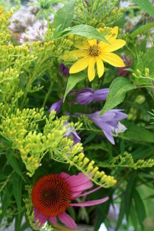 Helianthus, Solidago, Hosta, Echinacea