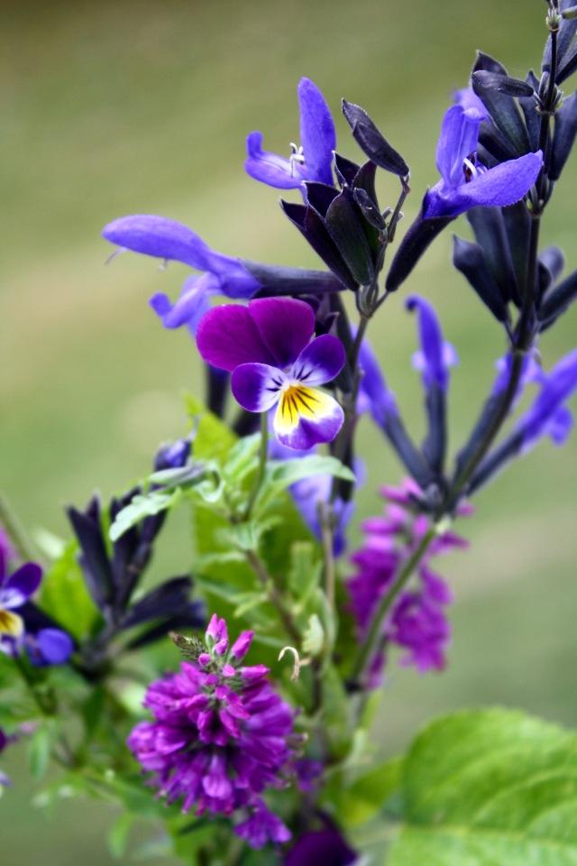 Salvia, Viola, Veronica