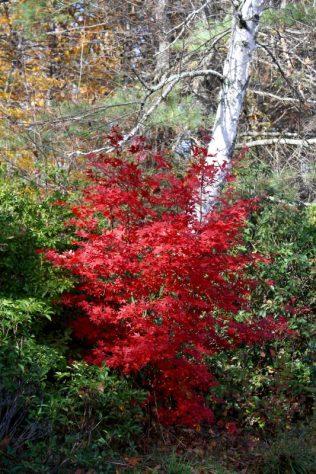 Acer palmatum fall color