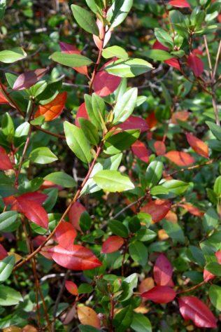 Small Rhodendron, fall color