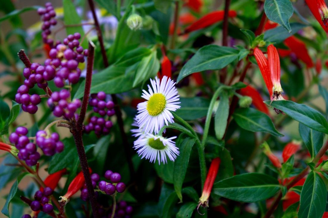 Beautyberry, fleabane, Cuphea