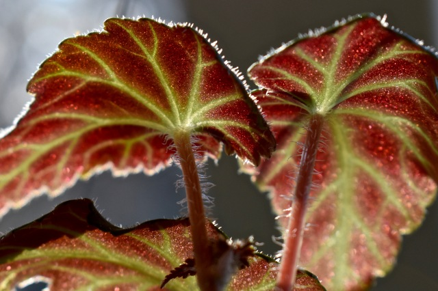 Begonia macro