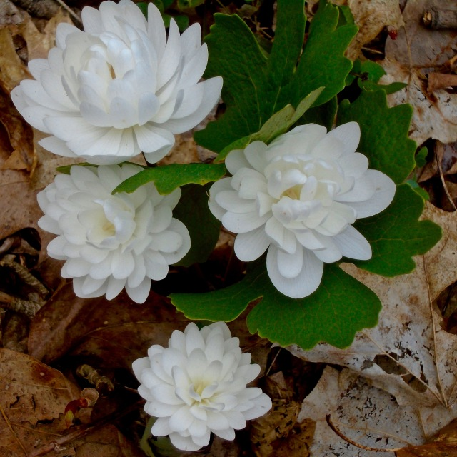 Double Bloodroot (Sanguinaria canadensis forma Multiplex)