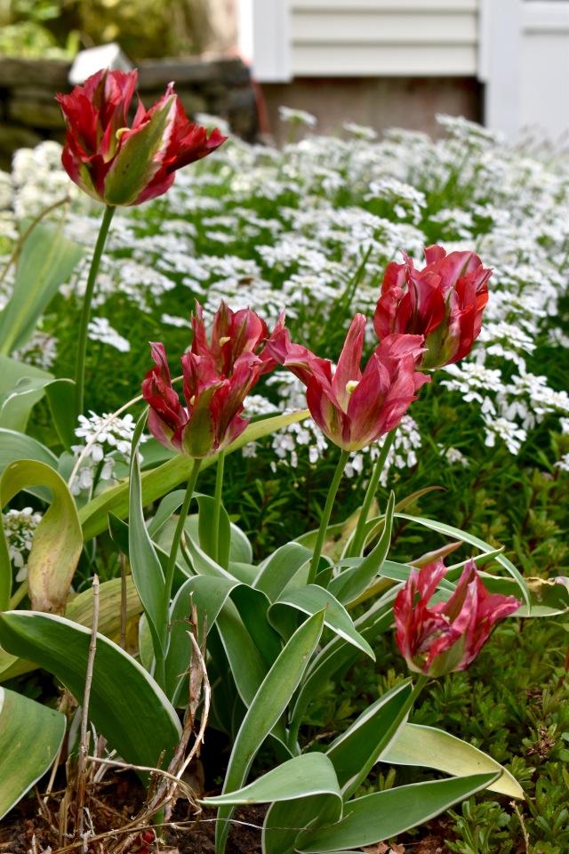 Tulip 'Esperanto'
