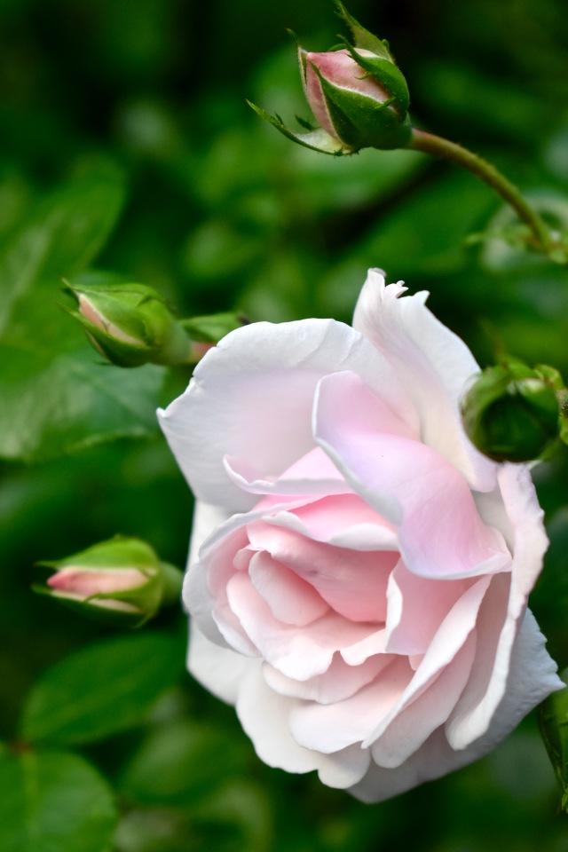 Rosa 'New Dawn'