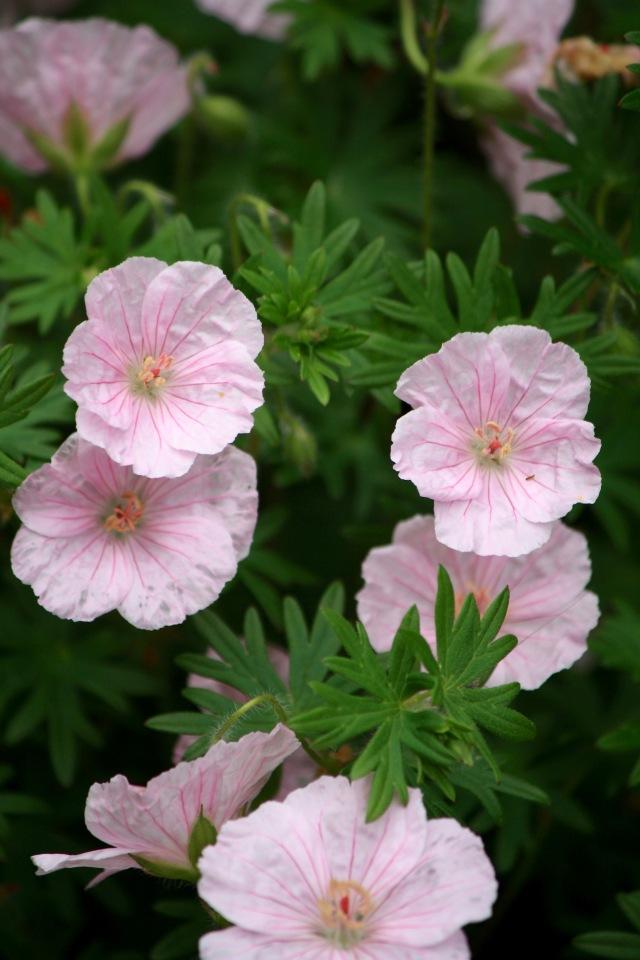 Geranium lancastriense