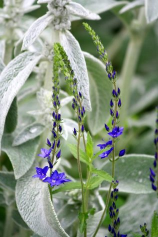 Lamb's ears and Veronica Crater Lake Blue'