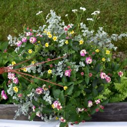 Helichrysum, Lantana, Bidens