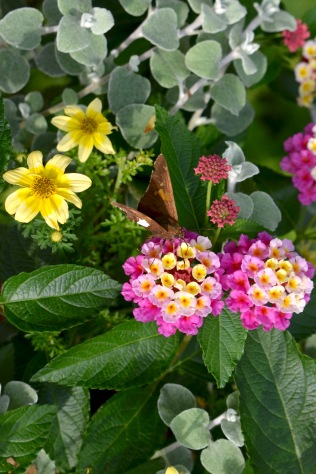Silver Spotted Skipper on Lantana