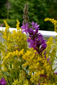 Loosestrife, Goldenrod