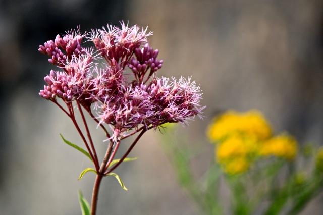 Joe Pye Weed (Eutrochium maculatum)