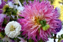 Zinnia, Dinnerplate Dahlia no ID