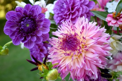 Dahlias 'Outta da Blue' and no ID Dinnerplate