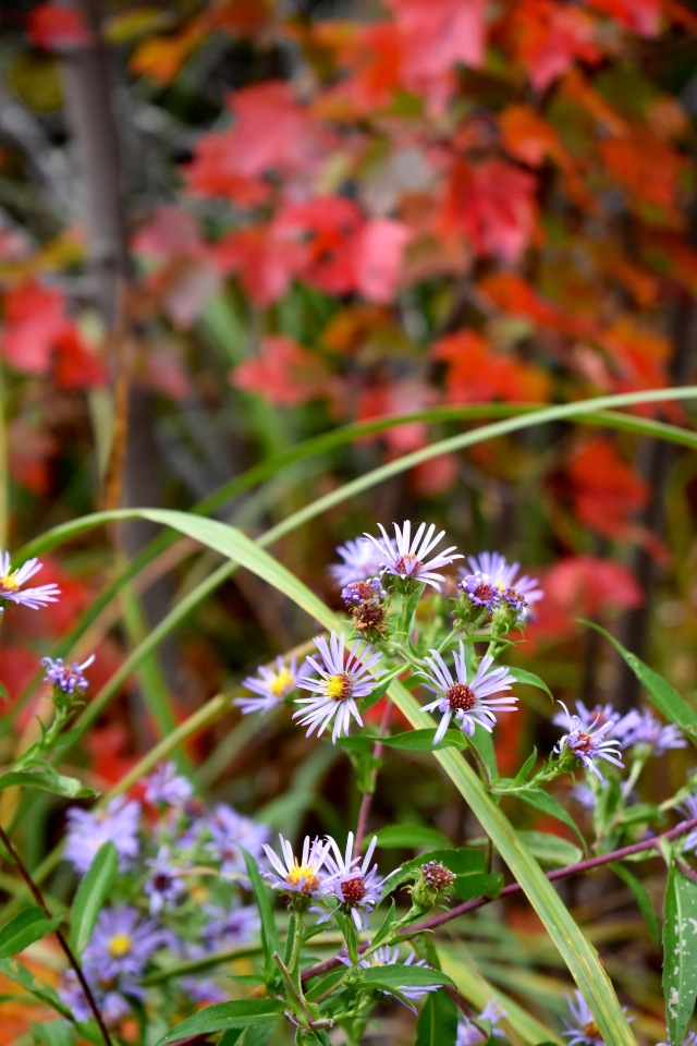 Aster, Red Maple